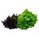 Alface Mimosa Duo Horta Verde Mix