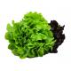 Alface Especial Hidropônica Horta Verde